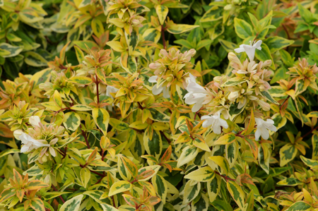 Abelia x grandiflora &#8216;Kaleidoscope&#8217;